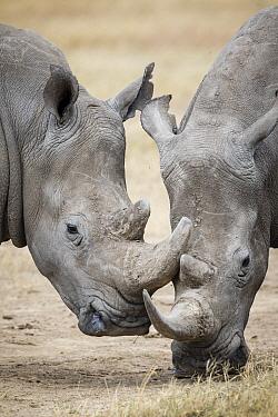 White Rhinoceros (Ceratotherium simum) pair, Ol Pejeta Conservancy, Kenya