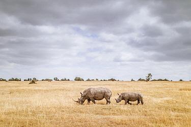 White Rhinoceros (Ceratotherium simum) mother and calf in grassland, Ol Pejeta Conservancy, Kenya