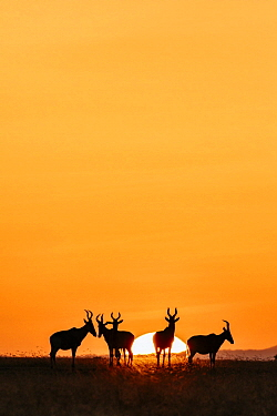 Common Hartebeest (Alcelaphus buselaphus) herd at sunrise, Ol Pejeta Conservancy, Kenya