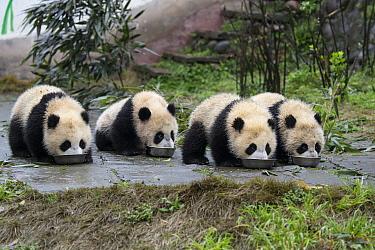 Giant Panda (Ailuropoda melanoleuca) seven month old cubs drinking milk from bowls, Bifengxia Panda Base, Sichuan, China