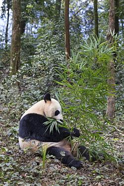 Giant Panda (Ailuropoda melanoleuca) feeding on bamboo, Bifengxia Panda Base, Sichuan, China