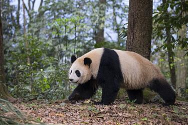 Giant Panda (Ailuropoda melanoleuca), Bifengxia Panda Base, Sichuan, China