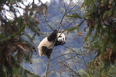 Giant Panda (Ailuropoda melanoleuca) seven month old cub in tree, Bifengxia Panda Base, Sichuan, China
