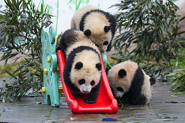 Giant Panda (Ailuropoda melanoleuca) seven month old cubs playing on slide, Bifengxia Panda Base, Sichuan, China