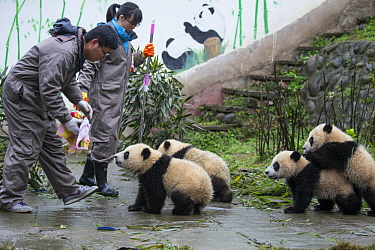 Giant Panda (Ailuropoda melanoleuca) keepers with seven month old cubs, Bifengxia Panda Base, Sichuan, China