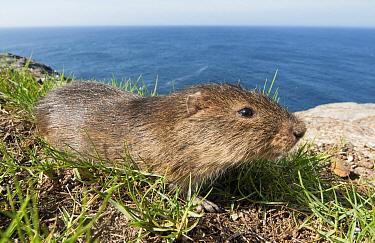 Santa Catarina's Guinea Pig (Cavia intermedia), Moleques do Sul Island, Santa Catarina, Brazil