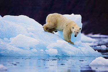 Polar Bear (Ursus maritimus) on iceberg, Scoresby Sound, Greenland