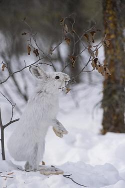 Snowshoe Hare (Lepus americanus) browsing in winter, Alaska