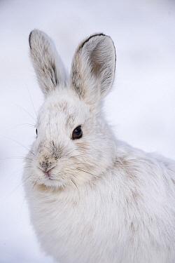 Snowshoe Hare (Lepus americanus) in winter, Alaska