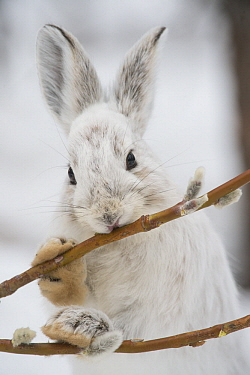 Snowshoe Hare (Lepus americanus) browsing on a Pussy Willow (Salix discolor) twig in winter, Alaska
