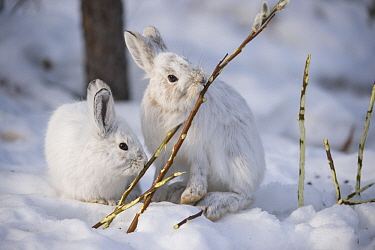 Snowshoe Hare (Lepus americanus) pair browsing on a Pussy Willow (Salix discolor) twig in winter, Alaska