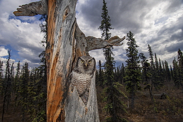 Northern Hawk Owl (Surnia ulula) in nest in taiga, Alaska