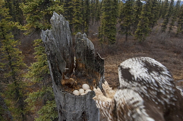Northern Hawk Owl (Surnia ulula) landing at nest with eggs in taiga, Alaska