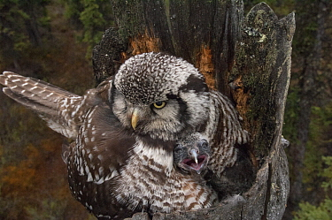 Northern Hawk Owl (Surnia ulula) brooding chick on nest, Alaska
