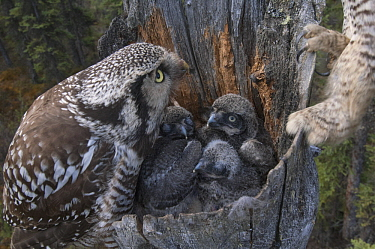 Northern Hawk Owl (Surnia ulula) parents at nest with chick, Alaska