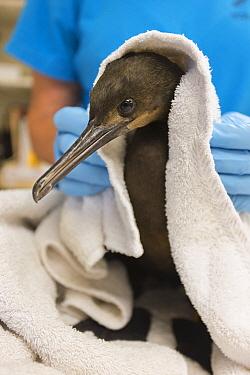 Brandt's Cormorant (Phalacrocorax penicillatus) rehabilitator, Martha Grimson, drying juvenile, International Bird Rescue, Fairfield, California