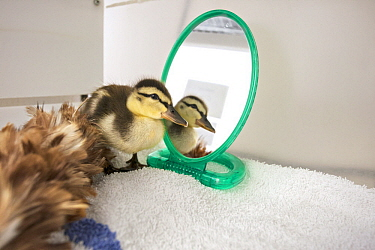 Mallard (Anas platyrhynchos) orphan three day old duckling in incubator with feather duster as surrogate mom and mirror for sibling reflections, International Bird Rescue, Fairfield, California
