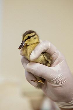 Mallard (Anas platyrhynchos) two day old orphan duckling, International Bird Rescue, Fairfield, California