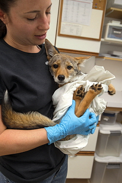 Coyote (Canis latrans) rehabilitator, Jessie Paolello, holding two month old orphan pup, Sarvey Wildlife Care Center, Arlington, Washington