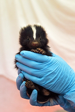 Striped Skunk (Mephitis mephitis) one month old orphaned baby, Sarvey Wildlife Care Center, Arlington, Washington