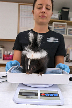 Striped Skunk (Mephitis mephitis) rehabilitator, Jessie Paolello, weighing one month old orphan young, Sarvey Wildlife Care Center, Arlington, Washington