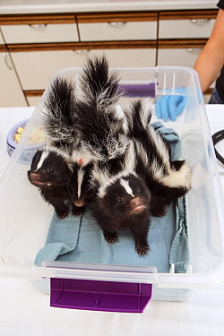 Striped Skunk (Mephitis mephitis) one month old orphaned babies being weighed, Sarvey Wildlife Care Center, Arlington, Washington