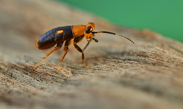 Cockroach (Blattidae) nymph, beetle mimic, Yasuni National Park, Ecuador