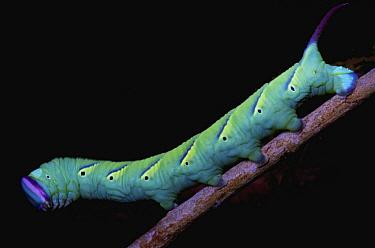 Hawk Moth (Sphingidae) caterpillar, seen under UV light, Cuc Phuong National Park, Vietnam