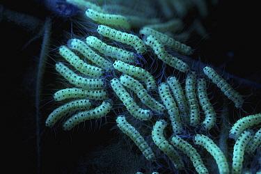 Caterpillars, seen under UV light, Cuc Phuong National Park, Vietnam