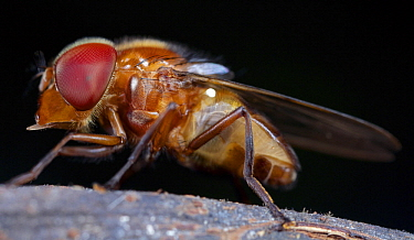 Drone Fly (Eristalis tenax), Hitoy Cerere Biological Reserve, Costa Rica
