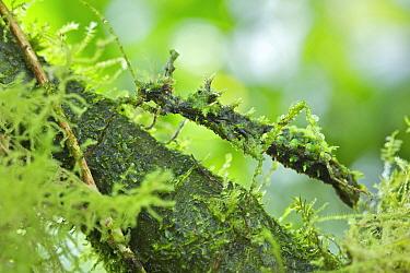 Mossy Stick Insect (Trychopeplus laciniatus) female, Chiriqui, Panama