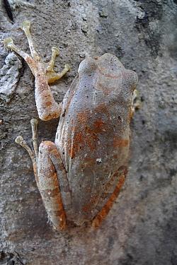 Shrub Frog (Rhacophoridae), Angkor Wat, Cambodia