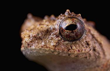 Shrub Frog (Rhacophoridae), Cat Tien National Park, Vietnam