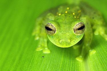 Glass Frog (Centrolenidae), Mindo Cloud Forest, Ecuador