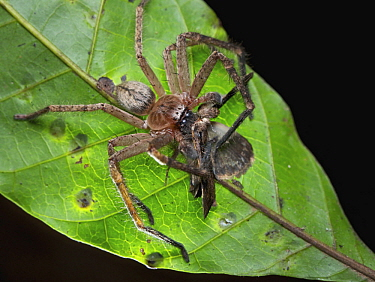 Giant Crab Spider (Sparassidae) feeding on moth prey, Udzungwa Mountains National Park, Tanzania