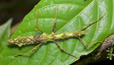 Mossy Stick Insect (Trychopeplus laciniatus), Chiriqui, Panama