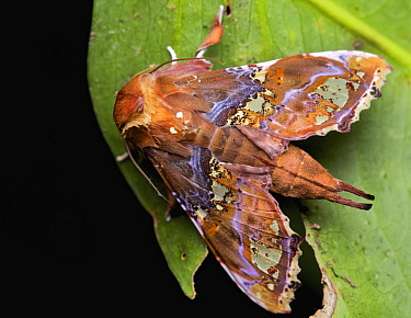 Moth (Euteliidae), Kinabalu National Park, Sabah, Borneo, Malaysia