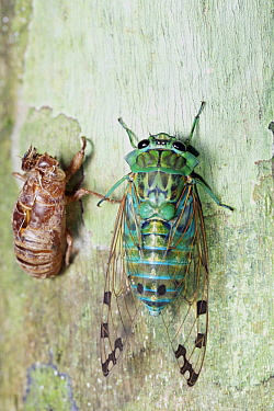 Cicada (Cicadidae) recently emerged from exuvia, Hitoy Cerere Biological Reserve, Costa Rica