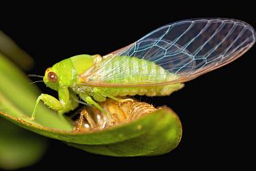 Cicada (Cicadidae), newly emerged, Ranomafana National Park, Madagascar