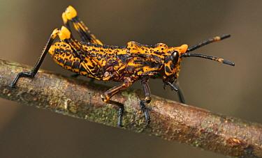Grasshoppper, Amani Nature Reserve, Tanzania