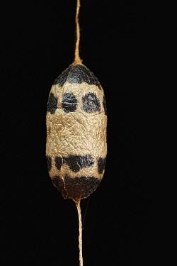 Parasitic wasp cocoon, Yasuni National Park, Ecuador
