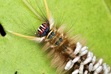 Braconid Wasp (Braconidae) cocoons attached to parasitized caterpillar, Udzungwa Mountains National Park, Tanzania