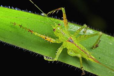Katydid (Tettigoniidae), Andasibe-Mantadia National Park, Madagascar