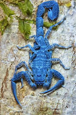 Scorpion, seen under UV light, Ranomafana National Park, Madagascar