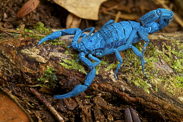 Scorpion, seen under UV light, Bilsa Biological Reserve, Ecuador