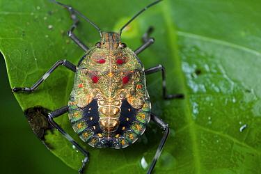 Stink bug, Yasuni National Park, Ecuador
