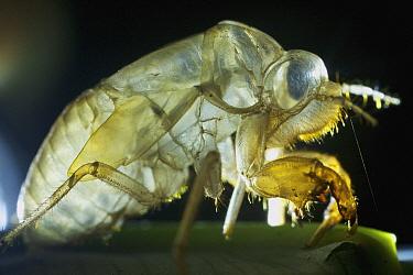 Cicada (Cicadidae) shed exuvia, Ecuador