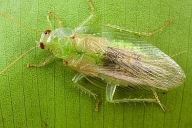 Cockroach, Udzungwa Mountains National Park, Tanzania