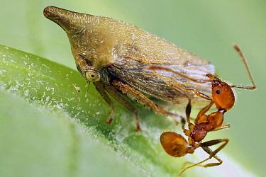 Treehopper (Membracidae) guarded by Ant (Formicidae), Andasibe-Mantadia National Park, Madagascar