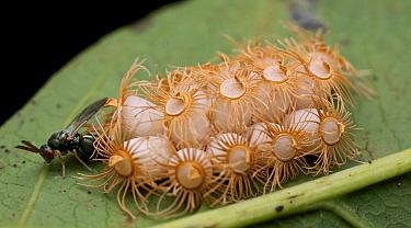 Wasp (Torymidae) parasitizing Stick Insect (Trachythorax sp)/neggs, Angkor Wat, Cambodia